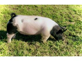 MEADE COUNTY FAIR 4-H & FFA YOUTH LIVESTOCK AUCTION - Online Bidding ends Wednesday, July 22 @ 5:00 PM EDT featured photo 3