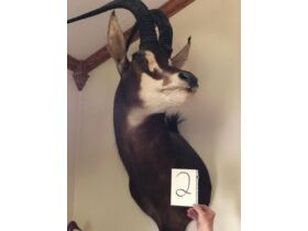 From Africa to America Taxidermy Mounts 21-0529.OL featured photo 3