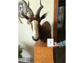 From Africa to America Taxidermy Mounts 21-0529.OL featured photo 4
