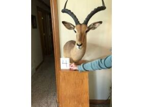 From Africa to America Taxidermy Mounts 21-0529.OL featured photo 5