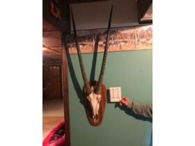 From Africa to America Taxidermy Mounts 21-0529.OL featured photo 12